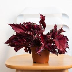 Begonia Rex rossa