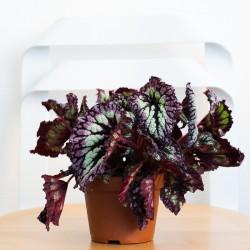 Begonia Rex rosa viola