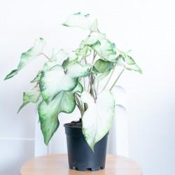 Caladium bianca e verde