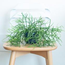 Euphorbia tirucalli: albero...